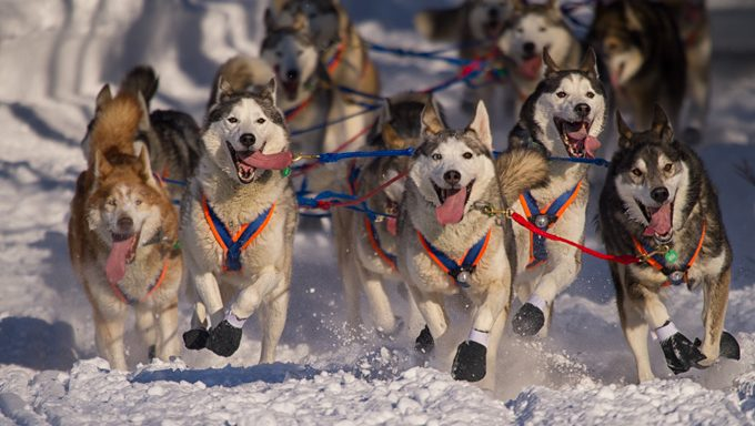 sled dogs running through snow