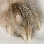 Hare Foot