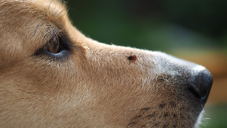 Tick encephalitis on the nose of the dog. A dangerous insect, a carrier of the disease