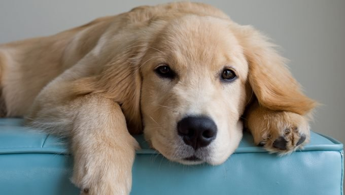 golden retriever puppy waiting for a great name