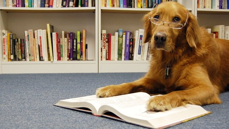 Golden retriever in glasses reading textbook in front of bookcases.