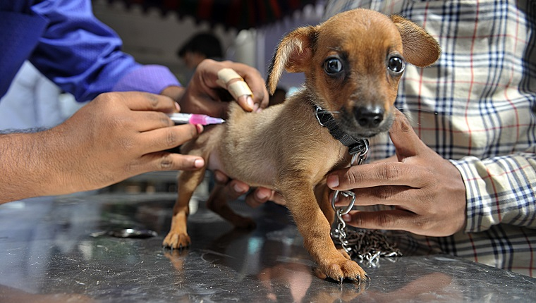An Indian veterinary clinic employee gives a rabies vaccination to a pet dog at a free vaccination camp at the Government Super Speciality Veterinary Hospital on the occasion of World Zoonoses Day in Hyderabad on July 6, 2016.Indian Immunologicals Limited conducted a free vaccination camp in the city free of cost on the occasion of World Zoonoses Day at government hospitals across the city. / AFP / NOAH SEELAM (Photo credit should read NOAH SEELAM/AFP/Getty Images)