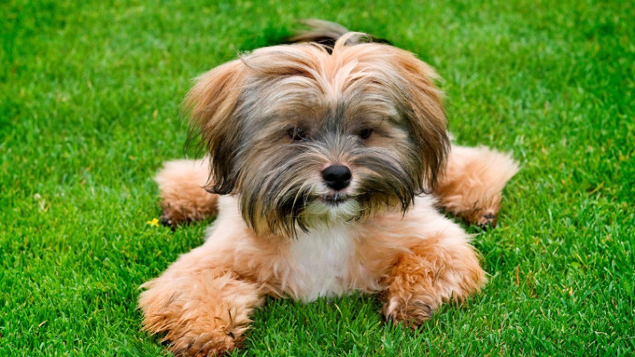 Shih Tzu Dog Names Dogtime