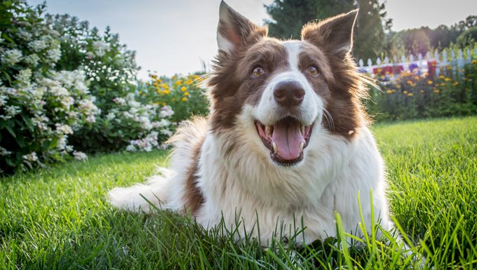 happy dog smiling on grass