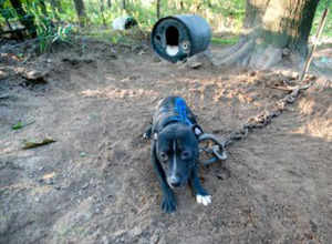 Authorities rescue 46 Pit Bulls from Michigan dog-fighting