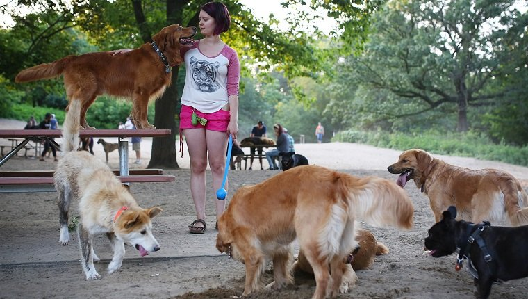 Toronto, Canada - July 4 - Melissa Martin plays with her 6 Golden retrievers at the off-leash dog park in Toronto's High Park on July 4, 2015. Cole Burston/Toronto Star (Cole Burston/Toronto Star via Getty Images)