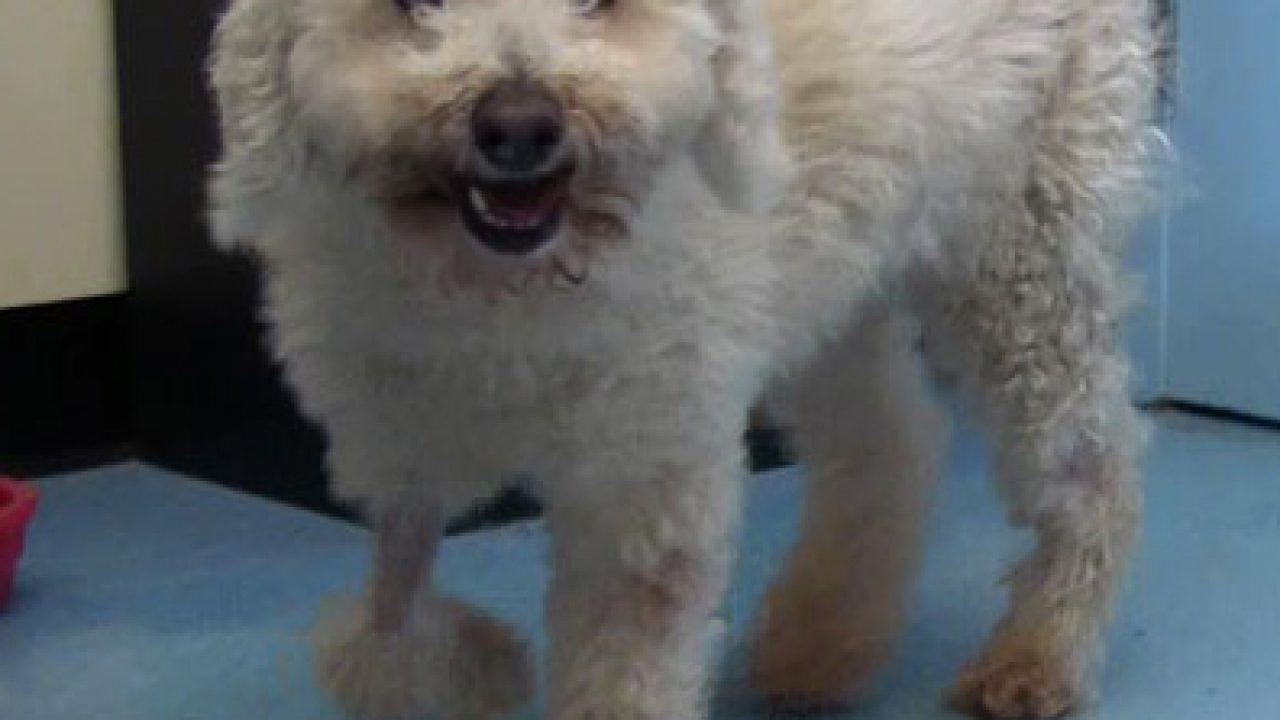 Poodle hit by car and carried 11 miles survives - Dogtime