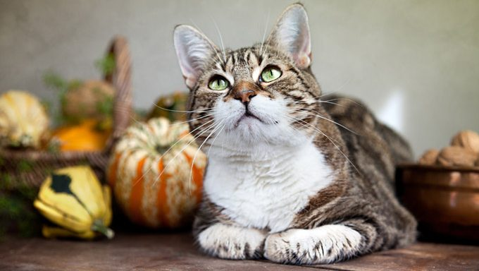 cat sitting in front of fall decorations