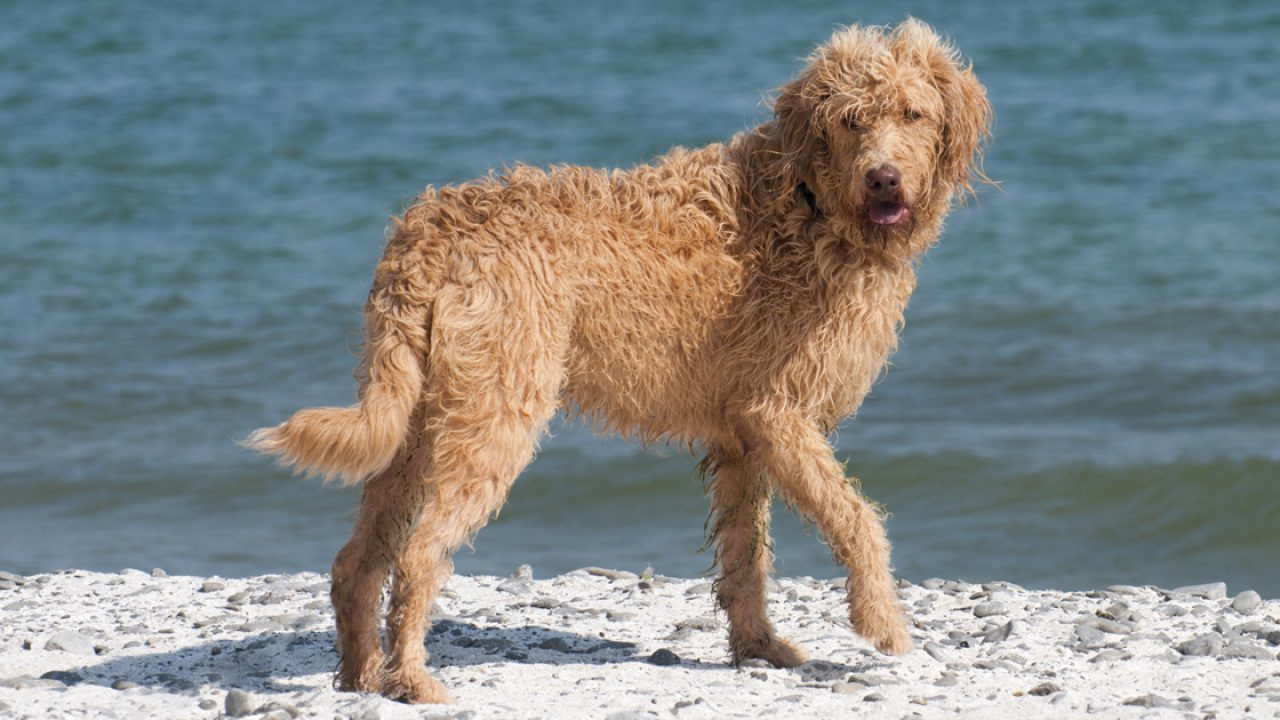 Eight Poodle Dog Mixes You May Not Know About Dogtime