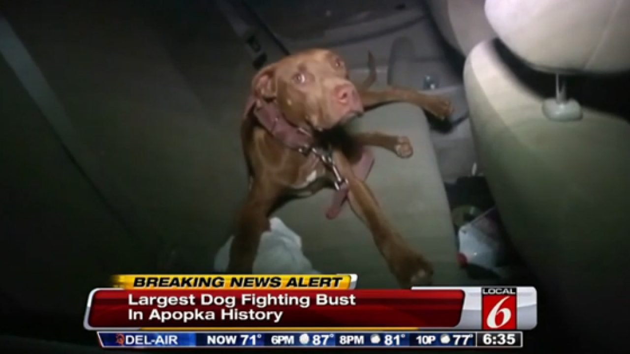 17 dogs rescued, 26 people arrested in Florida dogfighting