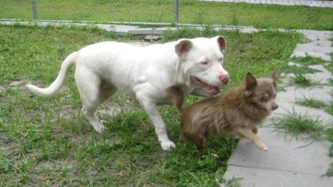 Pit Bull becomes hero to Chihuahua friend - Dogtime