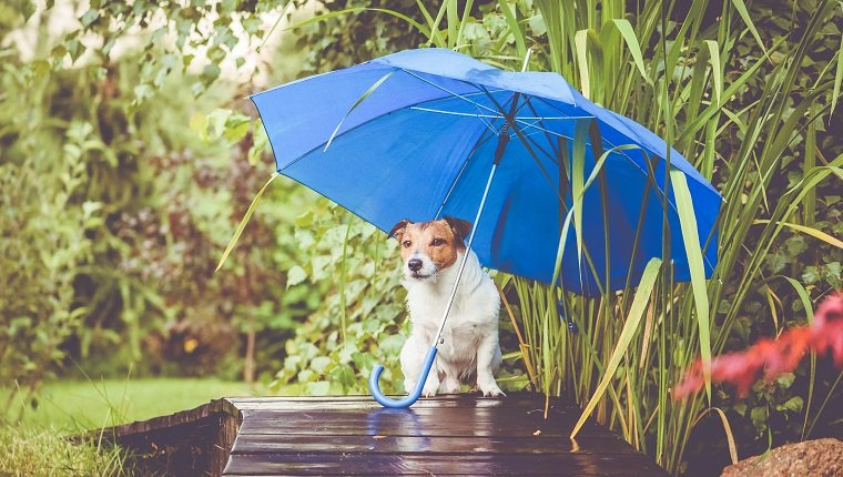 Jack Russell Terrier during rain outdoor