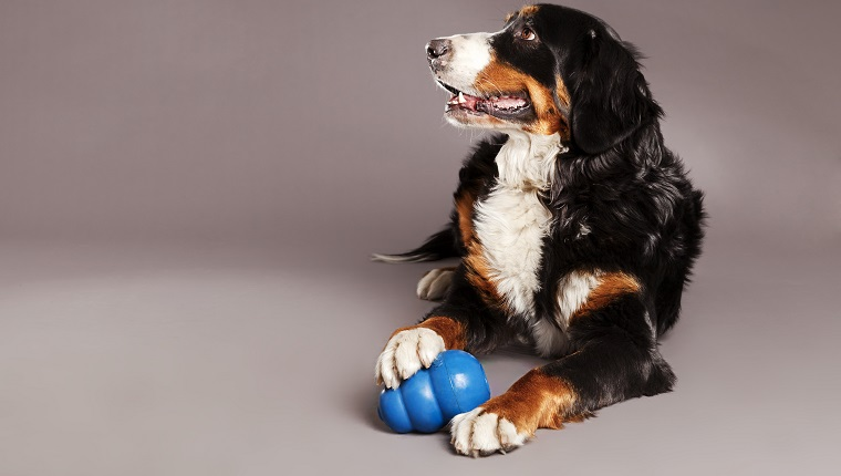 Studio portrait of a Bernard Sennenhund dog with its blue chew toy at its feet.
