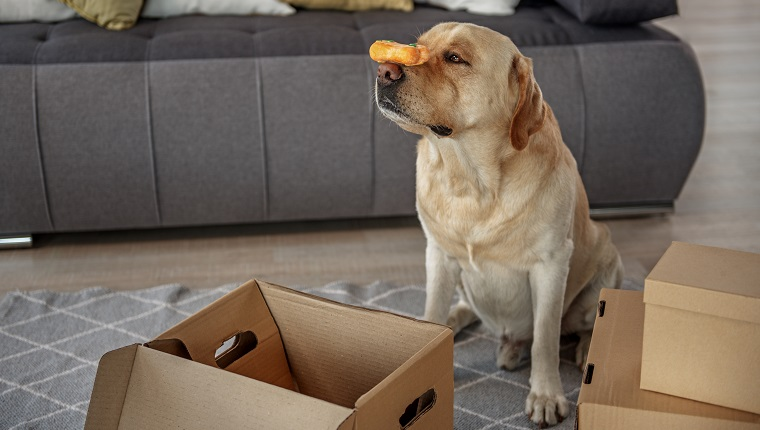 Side view serene dog keeping treat with nose while sitting near carton boxes in living room. Fun concept