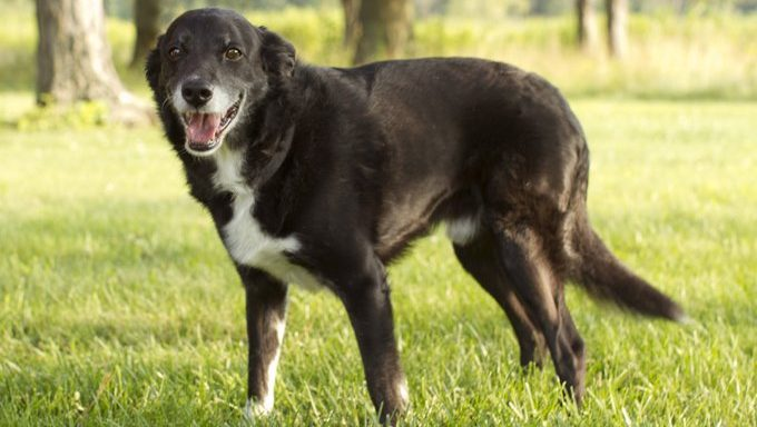 Blackie is a senior border collie mix. Blackie was with Cause for Paws rescue in Ohio for quite a while before finding his forever home where he could spend the rest of his days with a family that loves him.