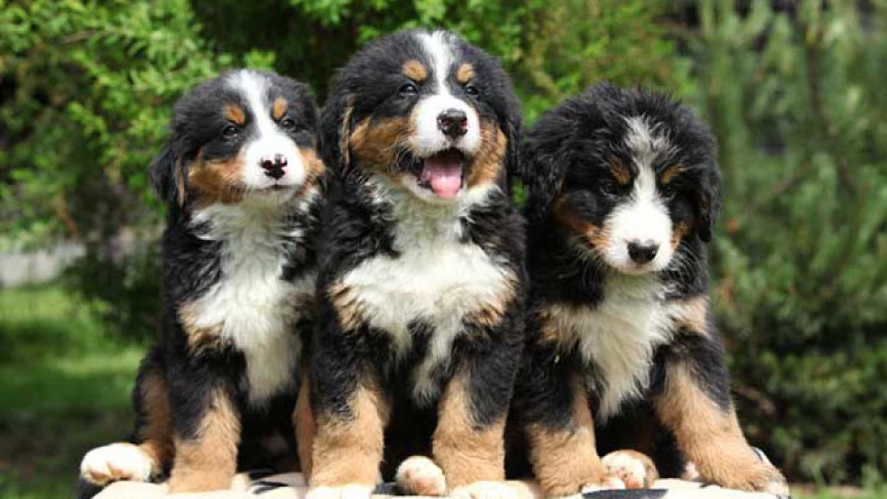 Dogs 101 Bernese Mountain Dog Dogtime