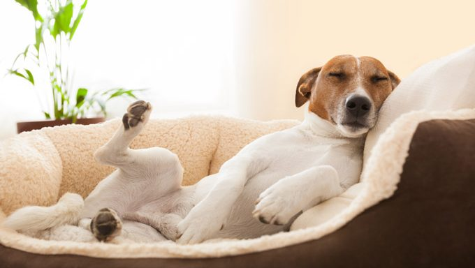 jack russell terrier lying in a dog bed