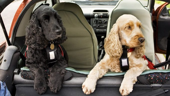 two dogs with harnesses in back of car