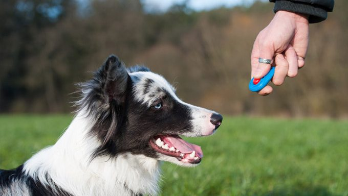 border collie looks at clicker