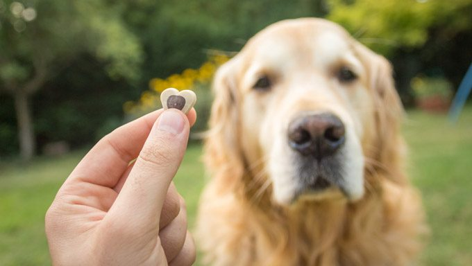 golden retriever looks at heart shaped treat