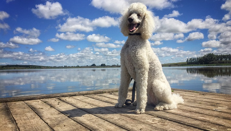 Low Angle View Of Poodle On Pier By Lake Against Cloudy Sky