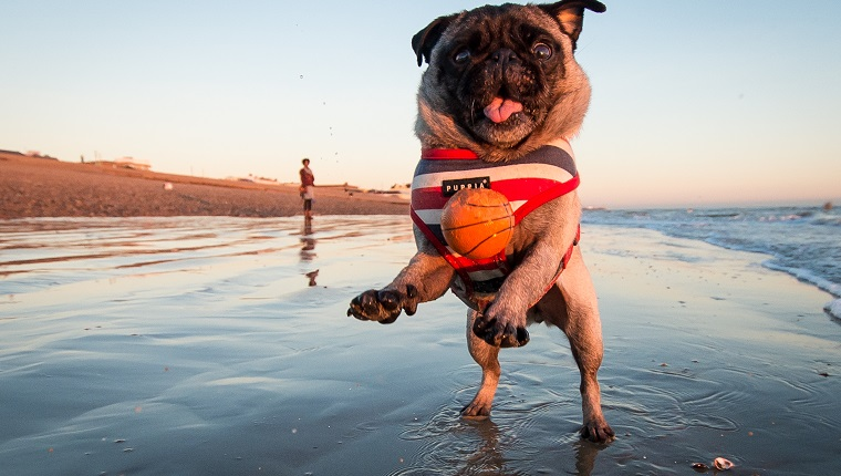 A Pug jumping for a ball at the beach
