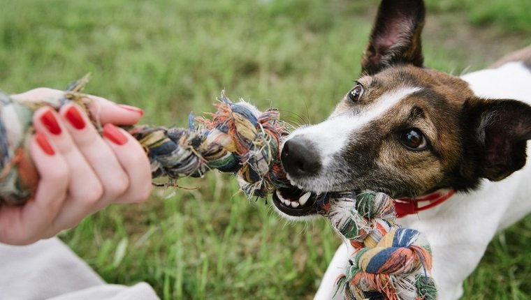 dog play with rope in green grass. top view