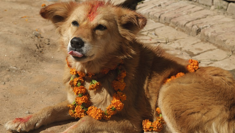 Dog adorned with flowers and tikka for the Tihar festival in Kathmandu, Nepal.