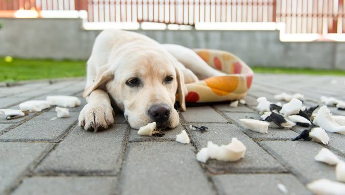dog with torn up bed