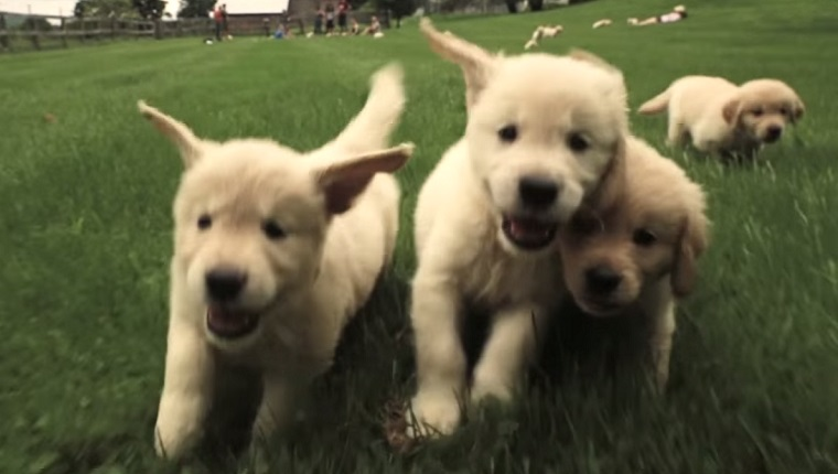Image result for man attacked by golden retriever puppies
