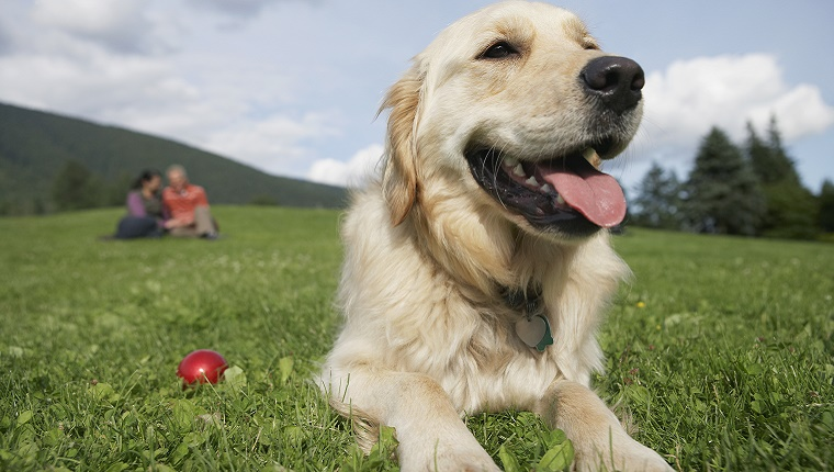 An older Retriever lies on the grass next to a ball. A couple is in the background.