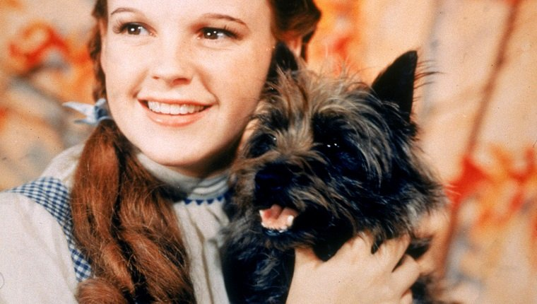 1939: American actor Judy Garland (1922 - 1969), as Dorothy Gale, holding Toto the dog for the film, 'The Wizard Of Oz,' directed by Victor Fleming.