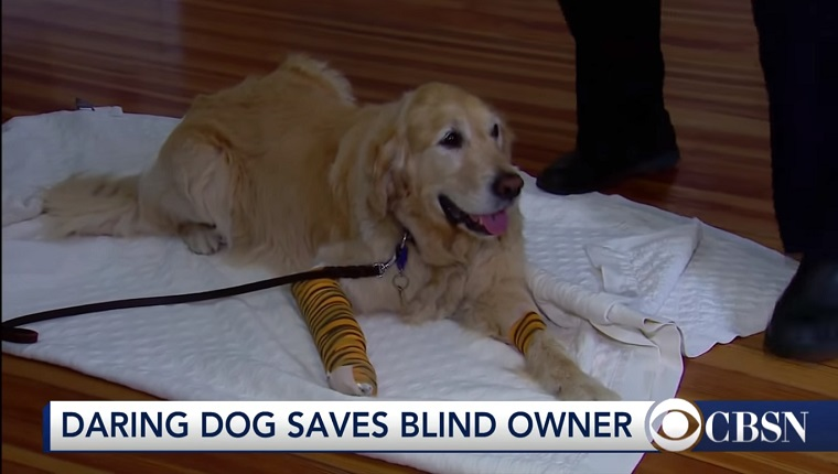 Figo the Golden Retriever lies on a white towel. Both of his front legs have bandages on them.