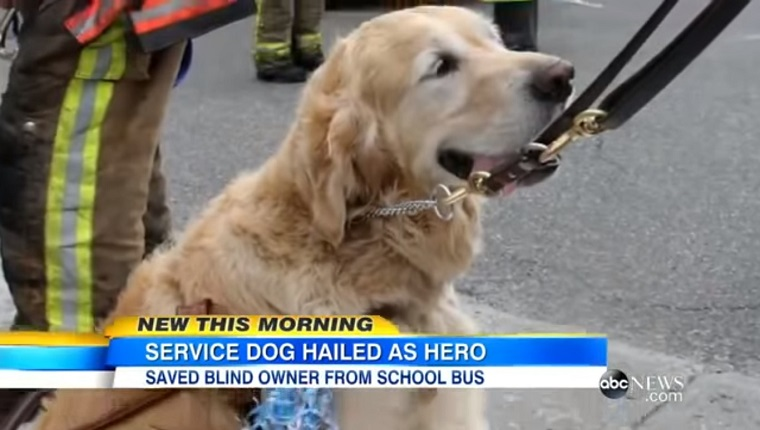 Figo the Golden Retriever sits in front of a fireman.