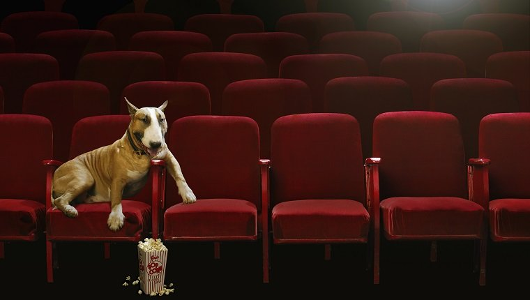 Bull Terrier Watching Movie in Theater
