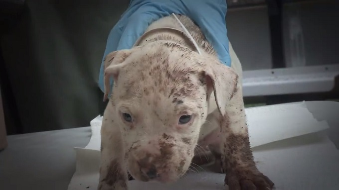 A dirty Pit Bull puppy sits on an exam table while a vet holds him.