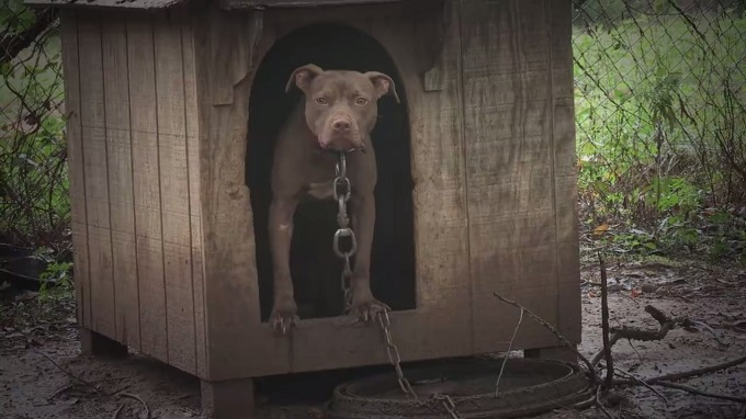 A brown Pit Bull stands in a muddy outdoor dog house with a large metal chain around its neck.