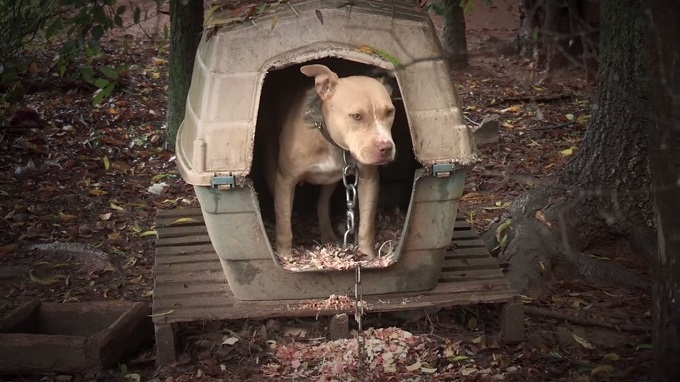 A Pit Bull with a large metal chain around its neck stands in a travel crate that has been made into an outdoor shelter.
