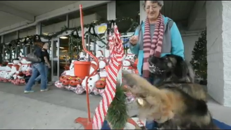A large Leonberger rings a bell while his owner stands by with treats outside of a shopping center.