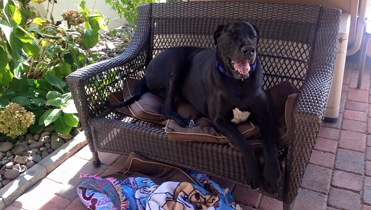 A tall, black Great Dane lies on an outdoor sofa with his front legs hanging off the side.