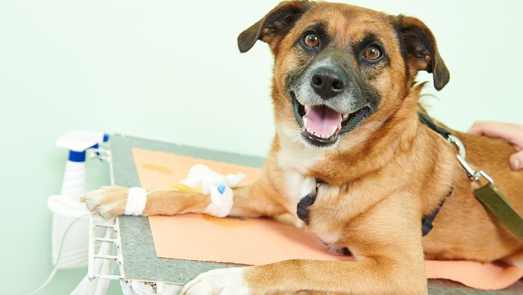 A happy looking dog lies on a medical table with bandages on his front leg.