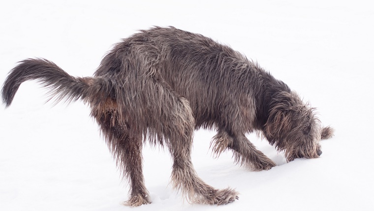An Irish Wolfhound eats snow from the ground.