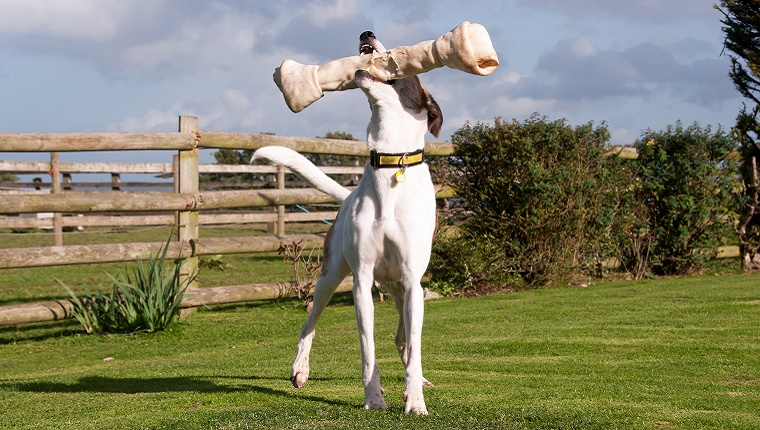 A dog holds an oversized bone in his mouth. He is standing in a field with a wooden fence.