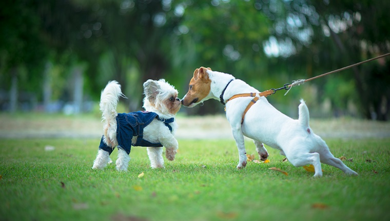 A Jack Russell Terrier on a leash meets a small white dog in a jacket in the park.