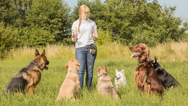 A group of dogs sit around a woman giving them hand commands in a grassy field.