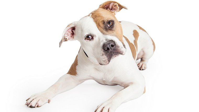 A white Pit Bull with brown markings tilts his head in front of a white background.