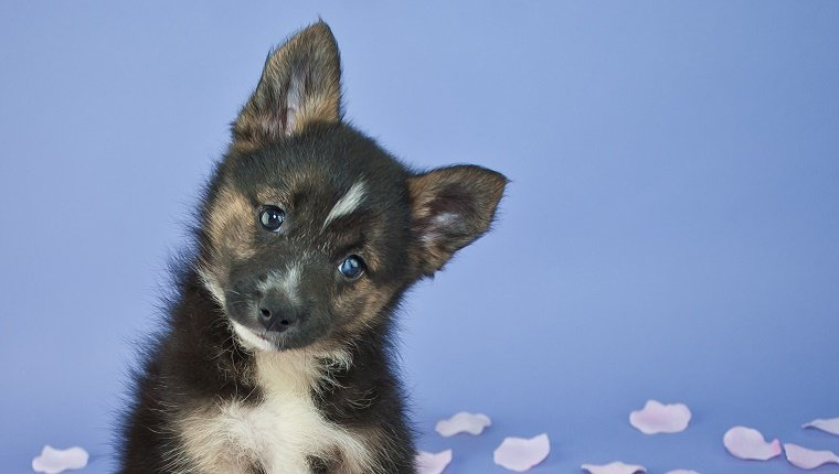 A Pomsky puppy tilts his head to the side in front of a blue background.