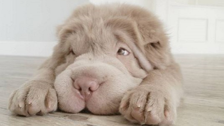 Tonkey the Shar Pei puppy lies down with her head between her paws.