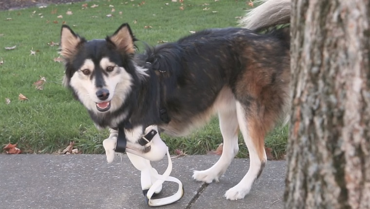 Derby the dog stands at his full height with a new pair of 3D printed legs that have more of a figure-8 shape.