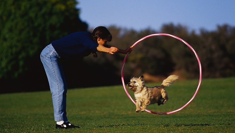 A small dog jumps through a hoola hoop as his owner holds out a treat.
